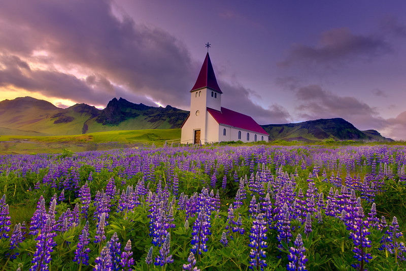 Lupines As Far As The Eye Can See – Vik, Iceland