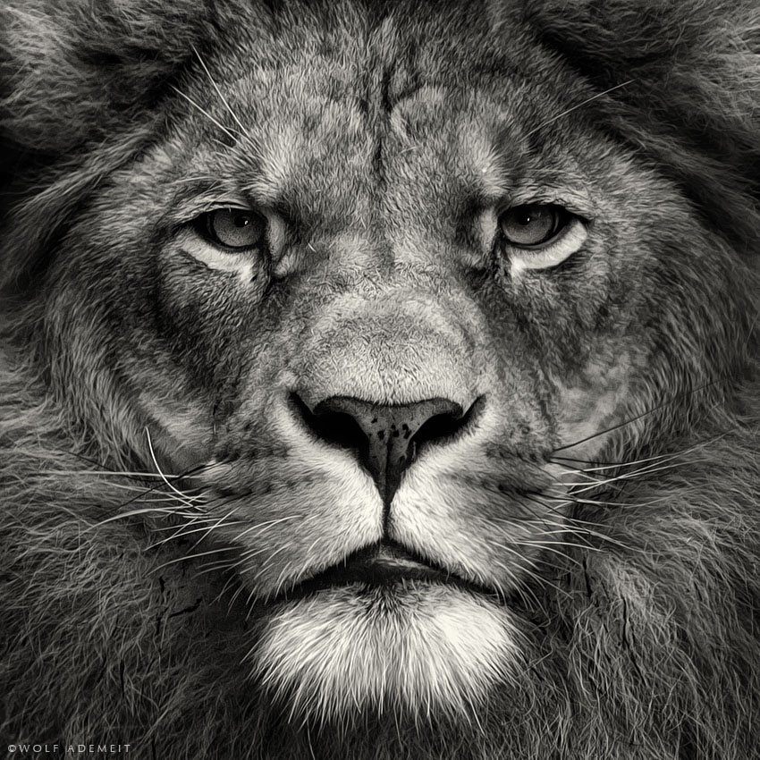 1-lion-black-and-white-photography