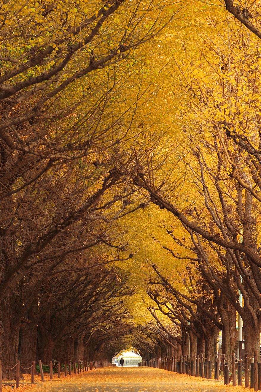 Ginkgo Tree Tunnel in Japan