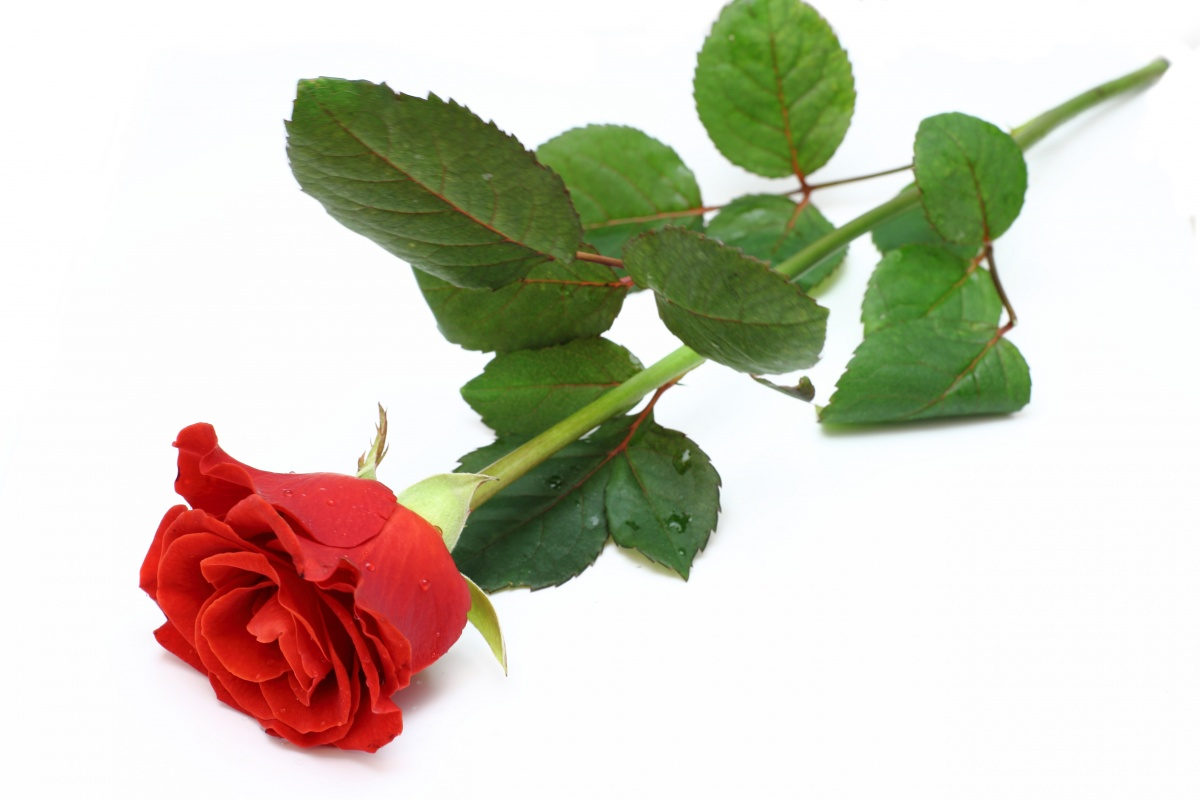The red rose is