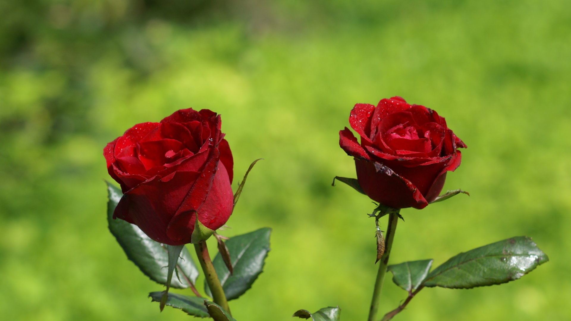 50 beautiful red rose images to download rose wallpaper hdtv 1920x1080 izmirmasajfo