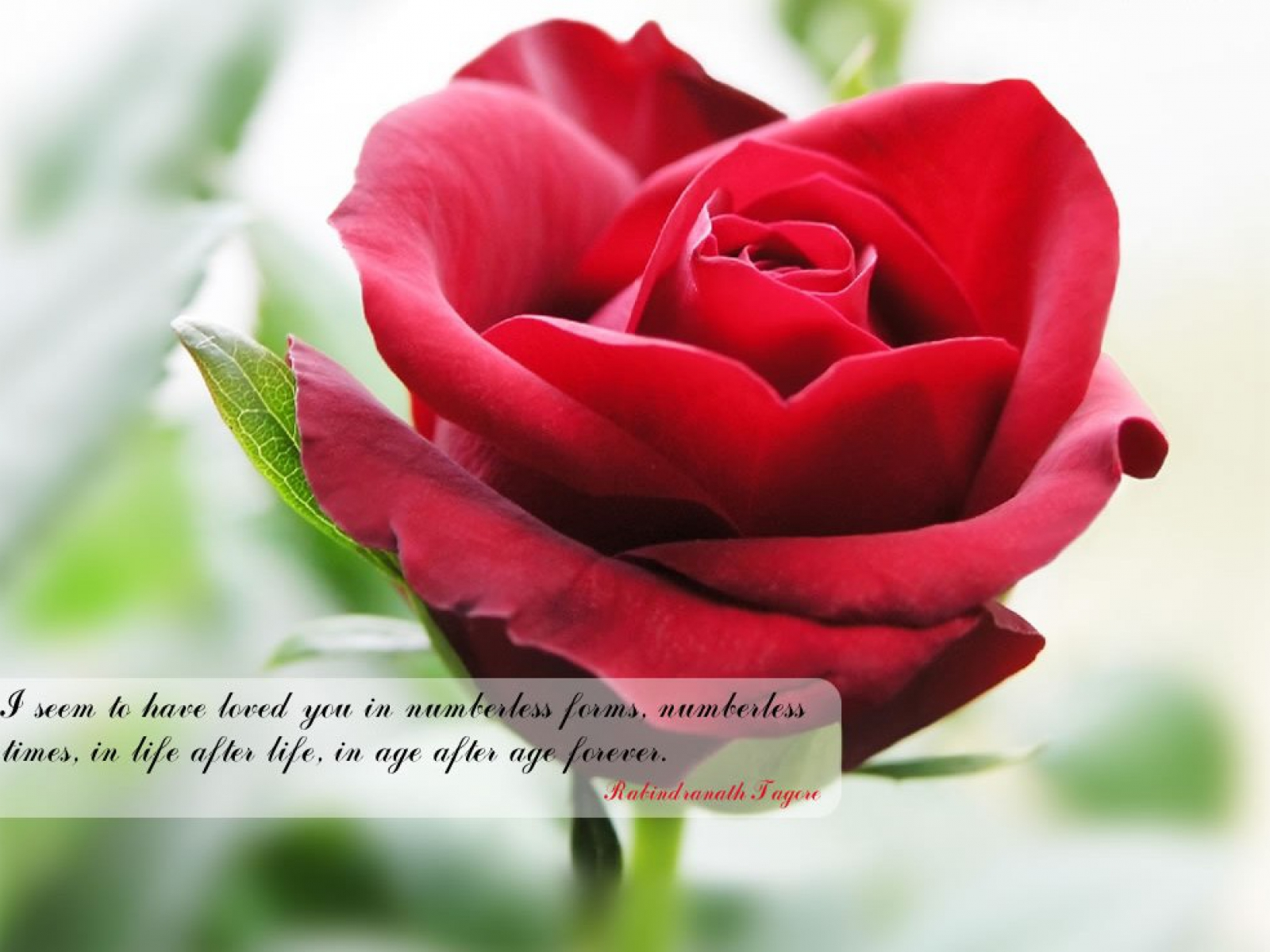 Best rose quotes to show your love rose flowers wallpapers with quotes 8 izmirmasajfo Image collections