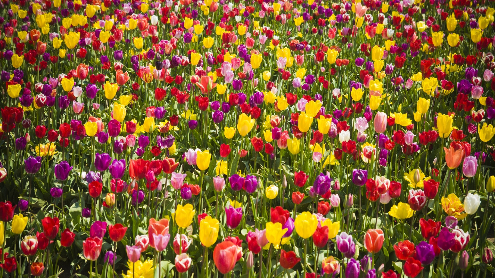 tulips-flower-wallpaper-1920x1080-1155