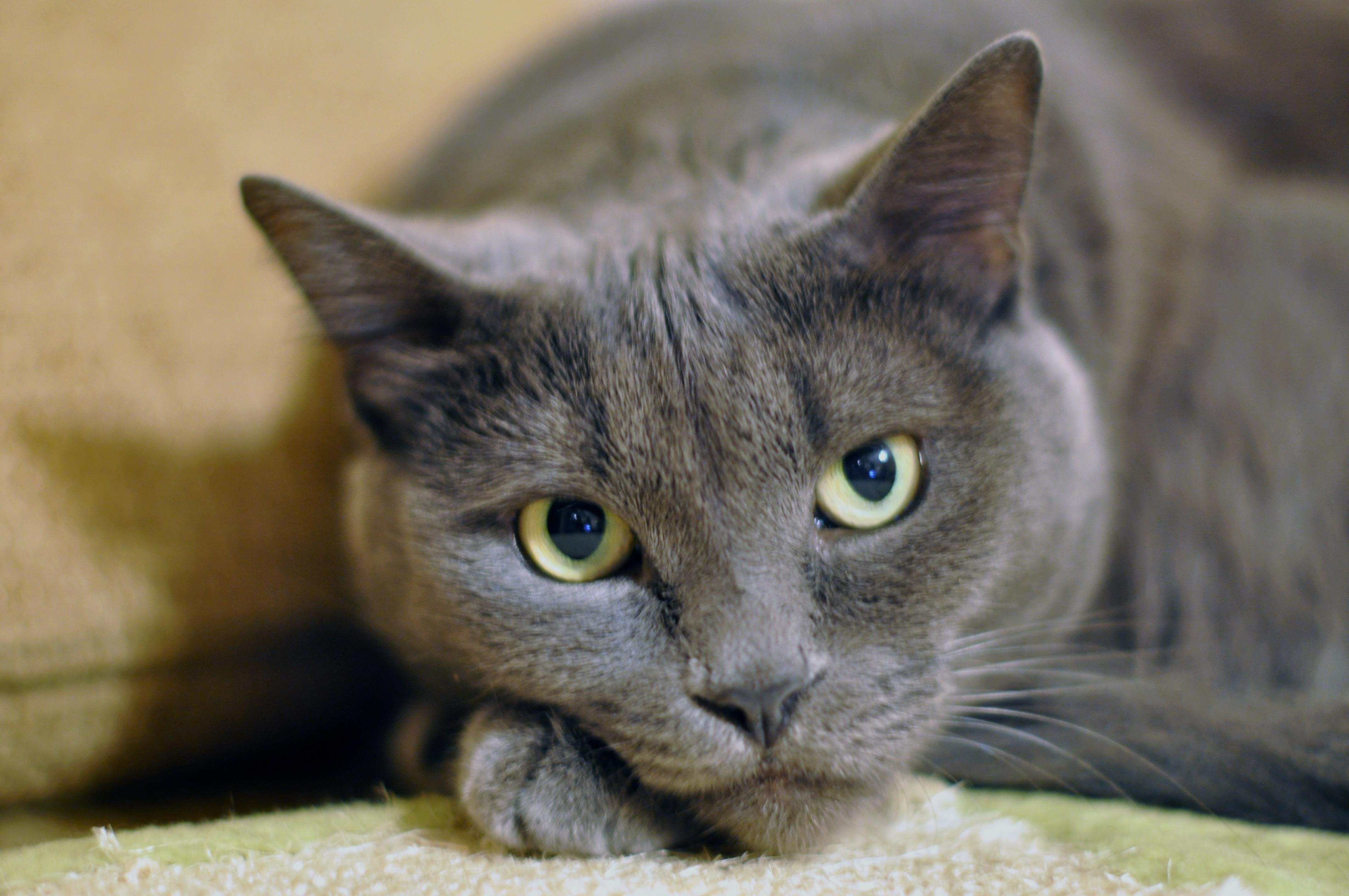 Gray-Cat-MorgueFile-Nov16th-2013