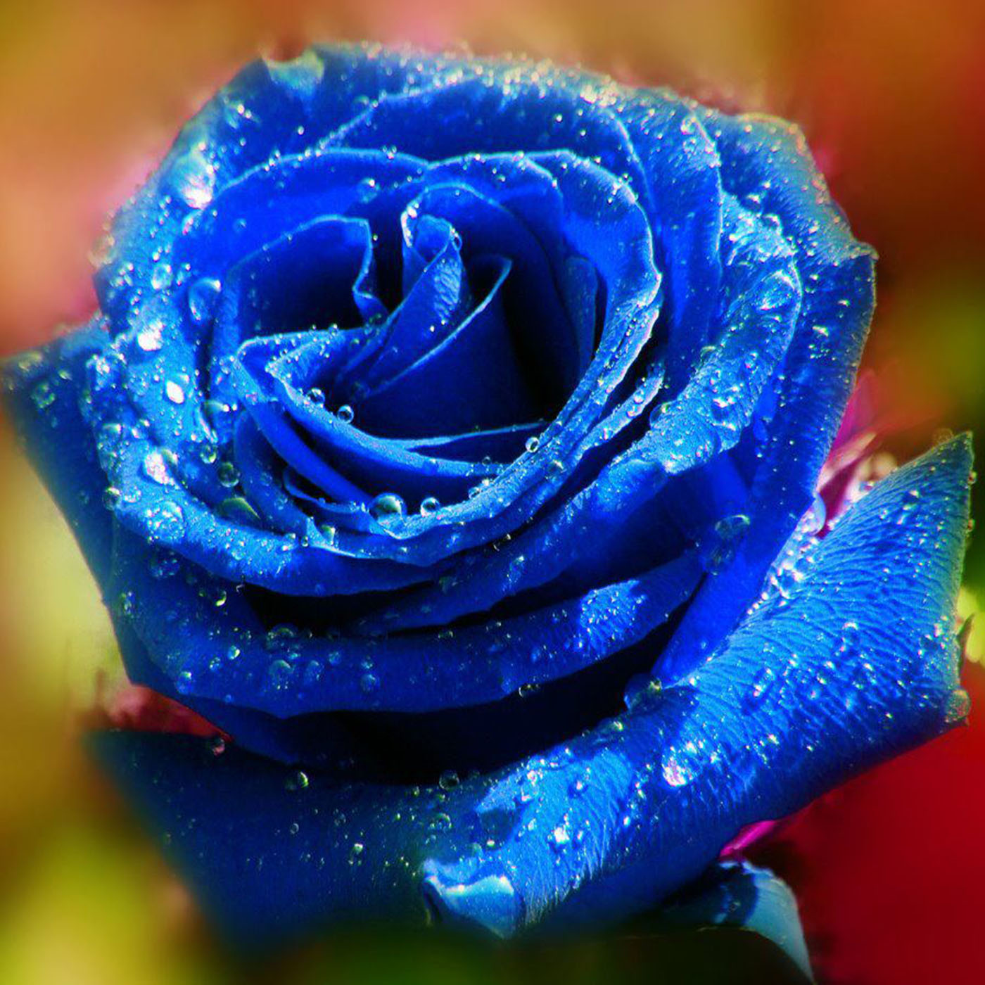 flowers_blue_rose-03