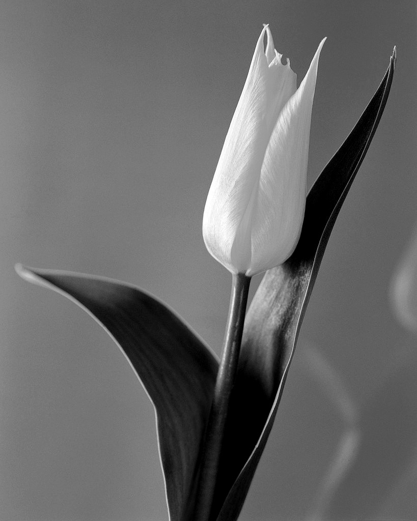 black-and-white-flower-photography-small-yellow-tulip