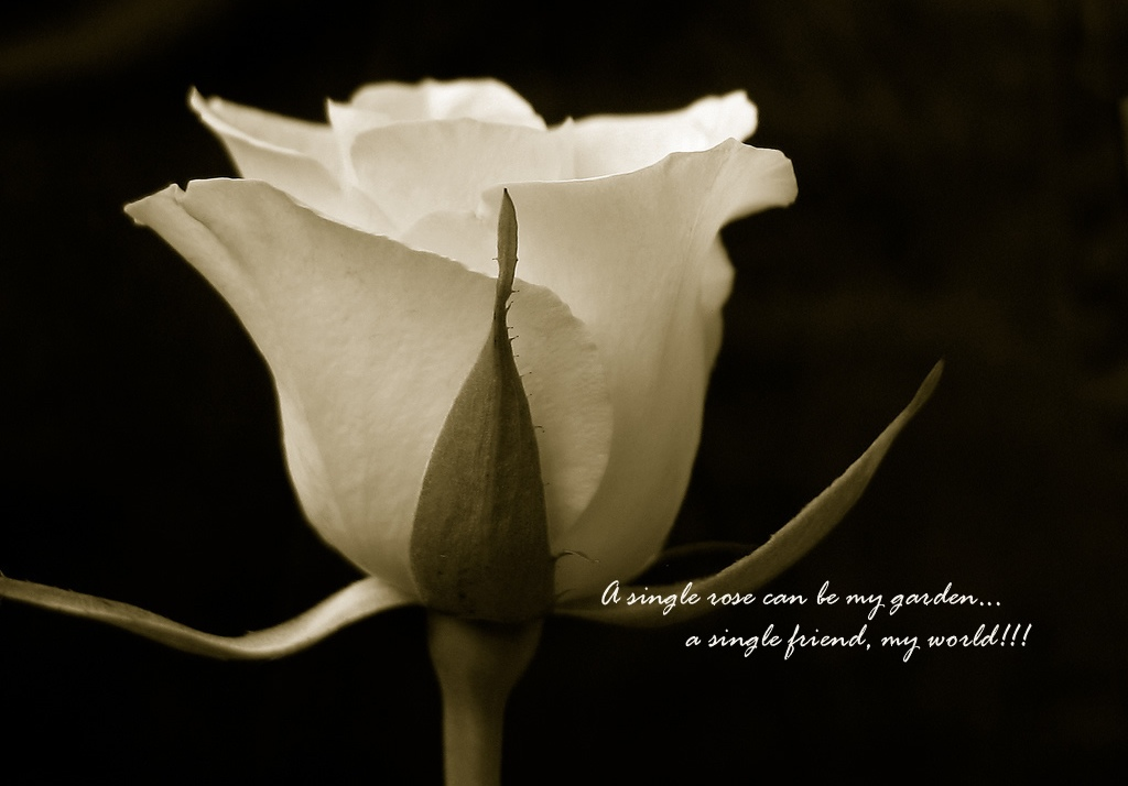 friendship-quote-rose-pictures-flower-140016