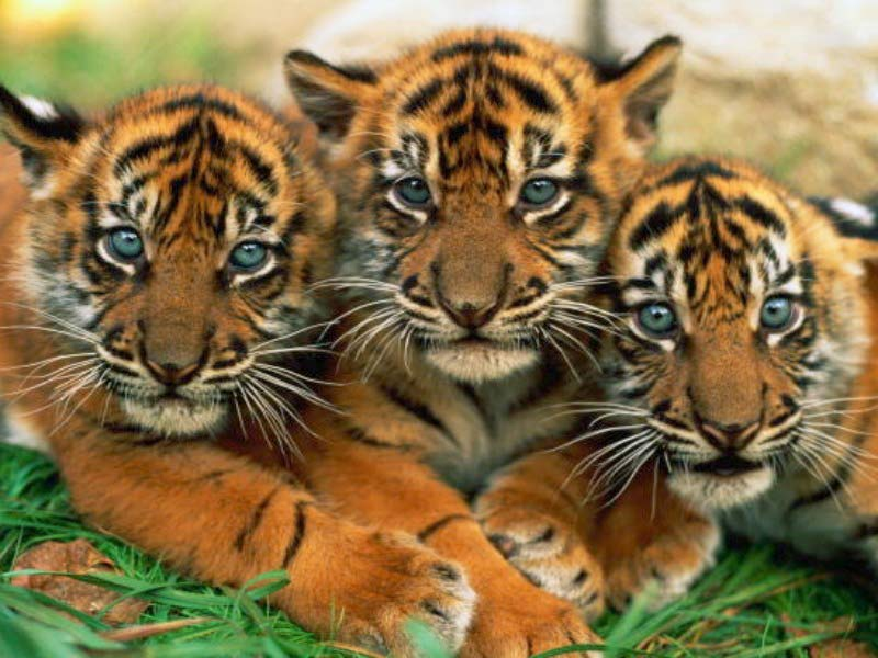 save-lovely-tiger-cubs
