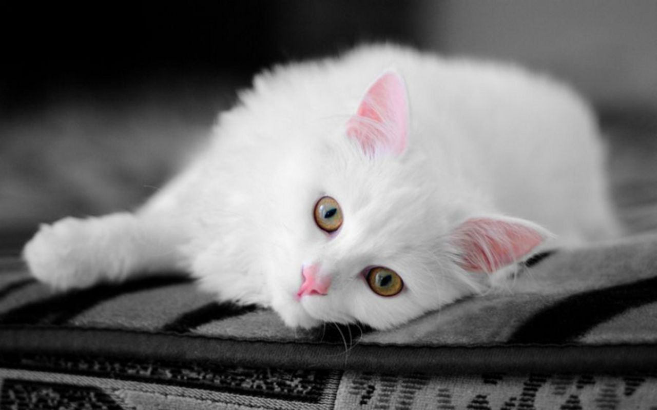 Beautiful-Cat-cats-16124046-1280-800